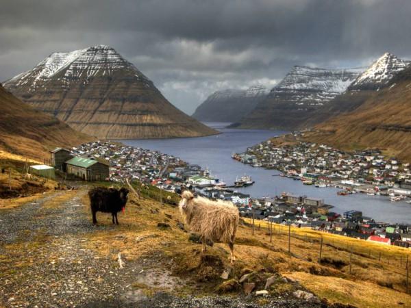 Ovejas cerca de Klaksvík. Foto: Ophfoto/Getty Images