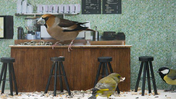 """Los pájaros, en el """"plató"""" del reality """"Piip-Show"""". Foto: NRK"""